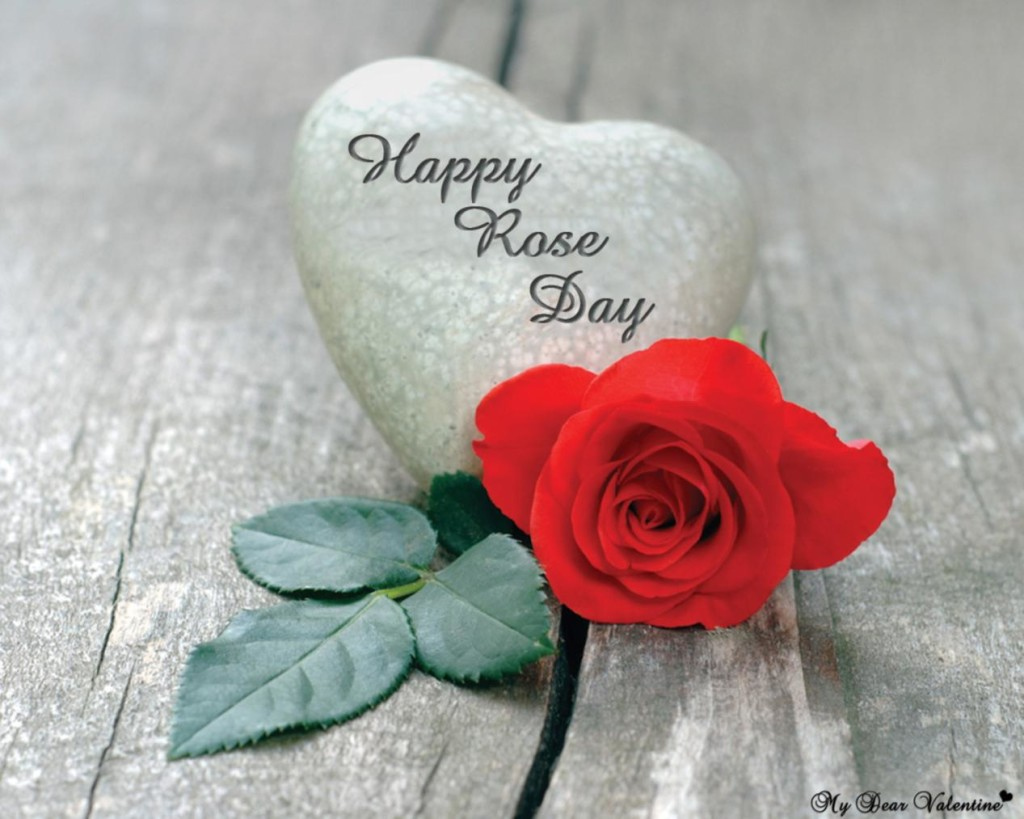 beautiful rose on rose day