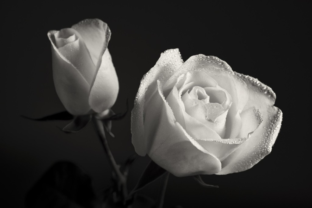 rose day white rose