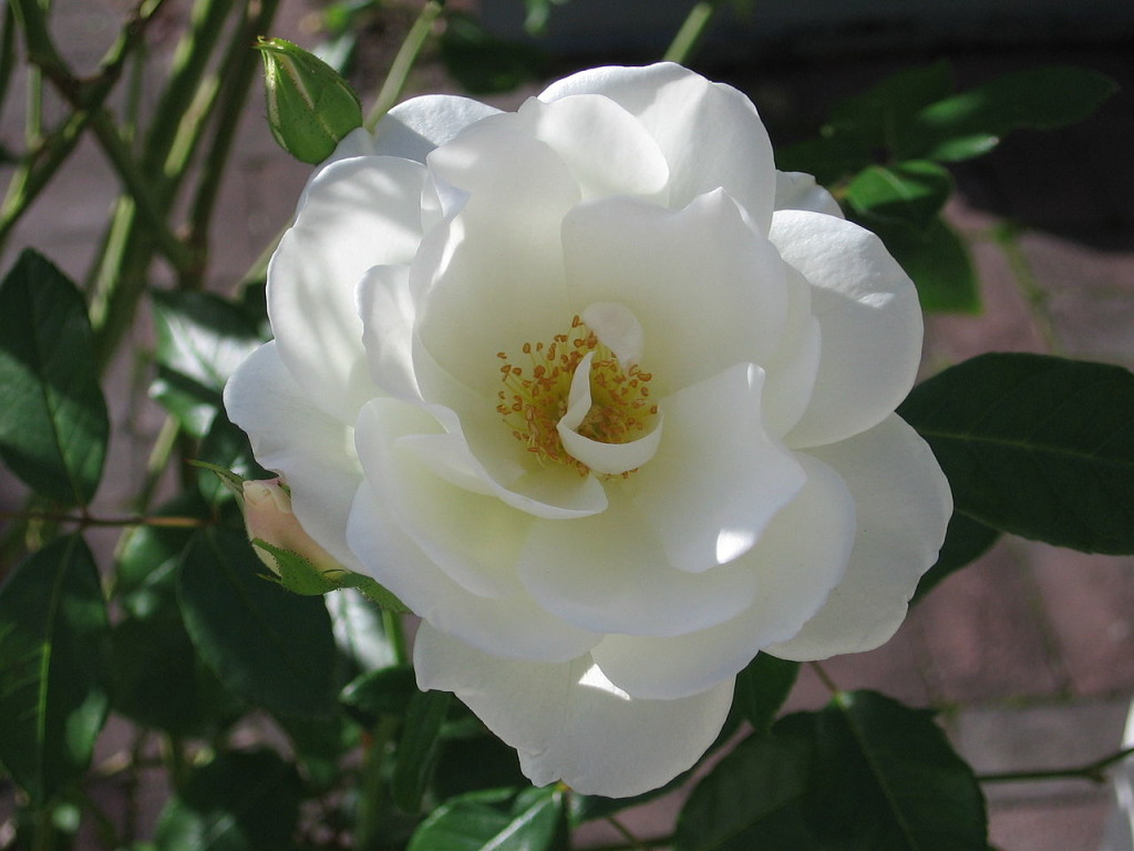 white rose on rose day