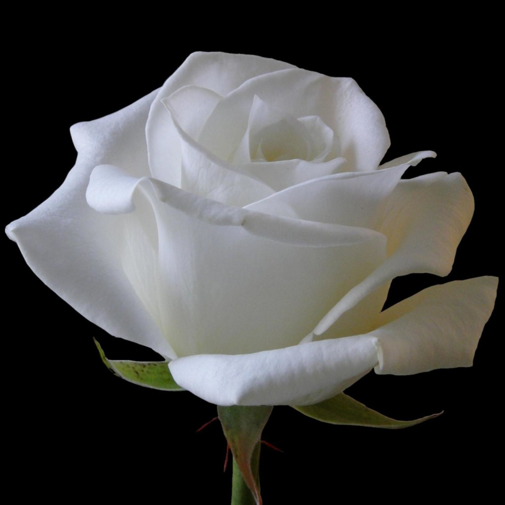happy rose day white rose flower
