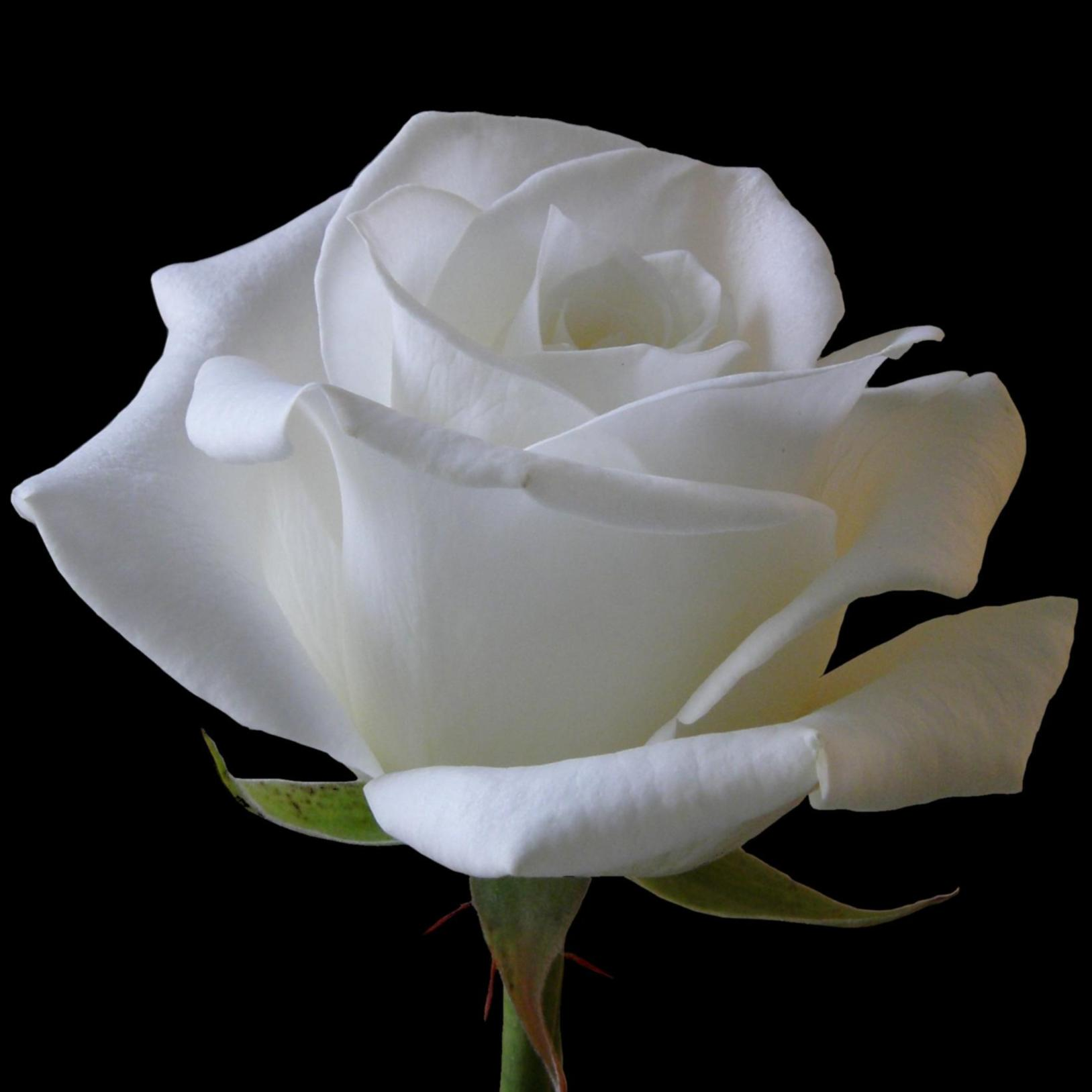 One White Rose Rose Day Pics (HD Imag...